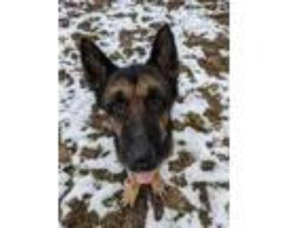 Adopt Walnut a German Shepherd Dog
