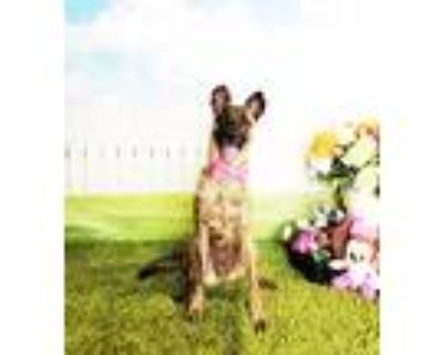 Adopt Nova a Brindle Shepherd (Unknown Type) / Mixed dog in Castro Valley
