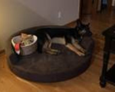 Adopt Kylo a Black - with Tan, Yellow or Fawn German Shepherd Dog / Mixed dog in