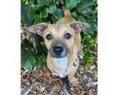 Charla, Jack Russell Terrier For Adoption In Bell Gardens, California