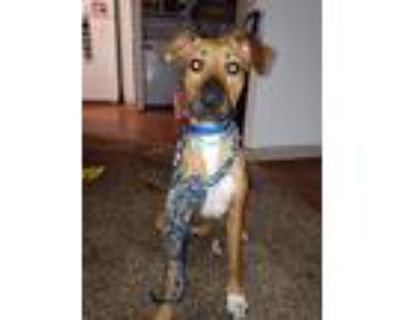 Adopt Lola a Brown/Chocolate - with White Boxer / Beagle / Mixed dog in El Paso