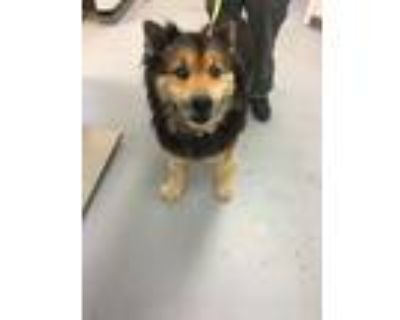 Adopt 48006295 a Black Chow Chow / Shepherd (Unknown Type) / Mixed dog in Los