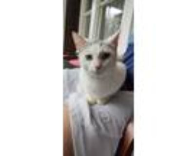 Adopt No Name a White (Mostly) American Shorthair / Mixed (short coat) cat in