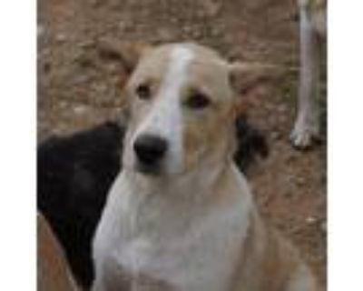 Adopt Oscar a Red/Golden/Orange/Chestnut - with White Great Pyrenees / Blue