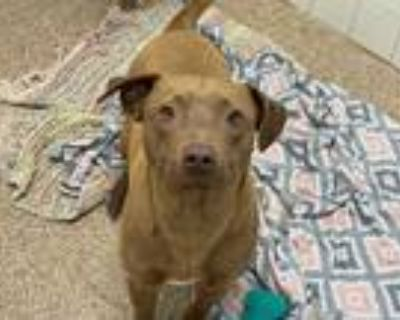Adopt ARTHUR a Brown/Chocolate American Pit Bull Terrier / Mixed dog in
