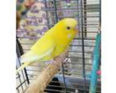 Adopt SWEETIE a Yellow Parakeet - Other / Mixed bird in Derwood, MD (31899243)