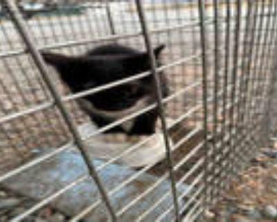 Adopt TWEETY B a Black & White or Tuxedo Domestic Mediumhair / Mixed (medium