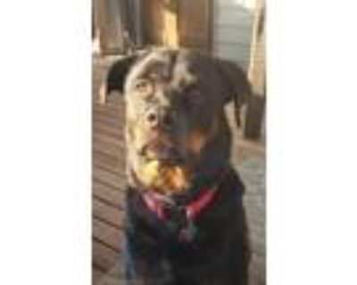 Adopt Kiyah a Black - with Tan, Yellow or Fawn Rottweiler / Mixed dog in