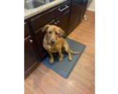 Adopt Hunter a Tan/Yellow/Fawn Labrador Retriever / Mixed dog in Chandler