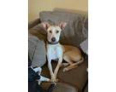 Adopt Bucky a Tan/Yellow/Fawn - with White Labrador Retriever / Mixed dog in