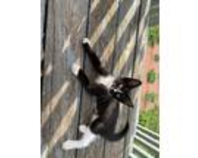 Adopt Pooter a Black (Mostly) Domestic Shorthair / Mixed (medium coat) cat in