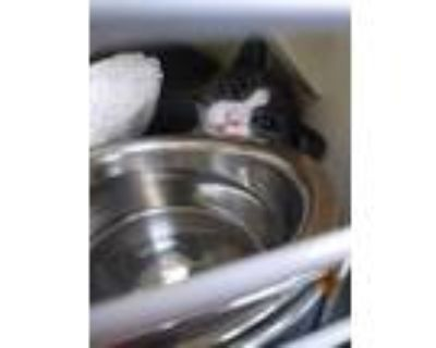 Adopt Ms. Frizzle a Domestic Short Hair