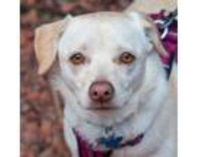 Adopt Hope a Terrier, Pug
