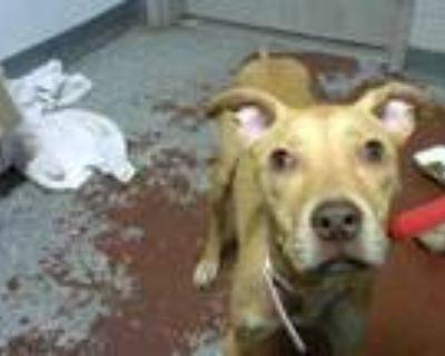 Adopt DUTCHESS a Labrador Retriever