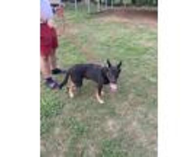 Adopt Chaise a Black German Shepherd Dog / Border Terrier / Mixed dog in