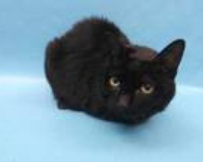 Adopt Sophie a All Black Domestic Shorthair / Mixed cat in Woodbury