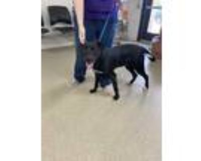 Adopt *PUPPY* Charlie a Black Labrador Retriever / Mixed dog in Fort Worth