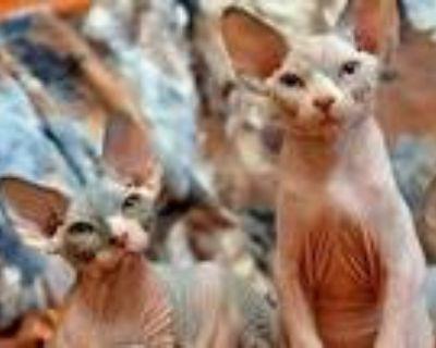 PLANET SPHYNX Kittens