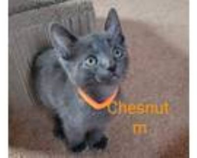 Adopt Chestnut a Black (Mostly) Domestic Shorthair cat in Union Grove