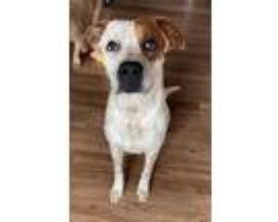 Adopt Stoop aka Leo a Red/Golden/Orange/Chestnut - with White Lancashire Heeler