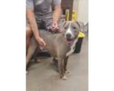 Adopt Cesar a Gray/Blue/Silver/Salt & Pepper Pit Bull Terrier / Weimaraner /
