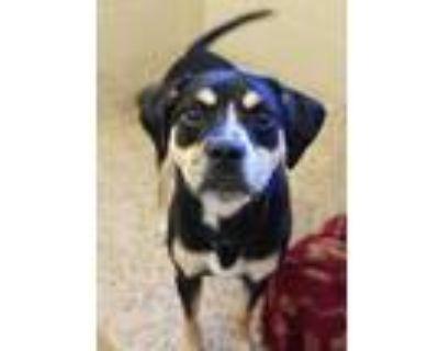 Adopt Bene 32849 a Black Hound (Unknown Type) / Mixed dog in Aiken