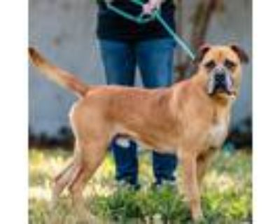 Adopt King a Brown/Chocolate Mastiff / Mixed dog in Oakland, CA (32010462)