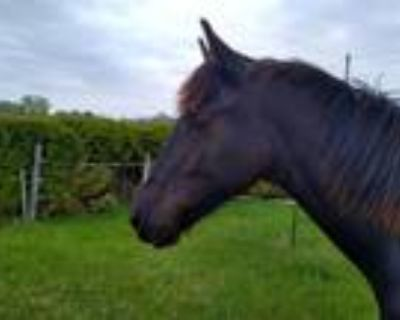 Sweets yearling paint friesian gelding