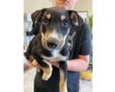 Adopt Puppy #2 a Doberman Pinscher, Husky