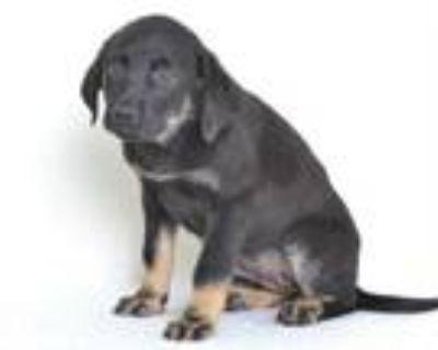 Adopt A591030 a Rottweiler, Labrador Retriever