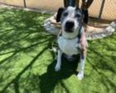 Adopt SOOKIE a White American Pit Bull Terrier / Mixed dog in Lancaster