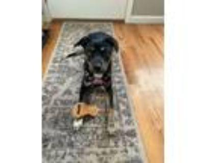 Adopt STELLA a Labrador Retriever, Hound