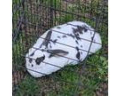 Adopt Turkey a Mini Rex, English Spot