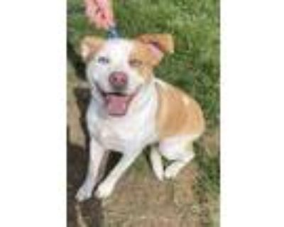 Adopt Loki a White - with Tan, Yellow or Fawn Husky / Pit Bull Terrier / Mixed