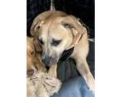 Adopt May a Black Mouth Cur, Mixed Breed