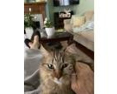 Adopt Rosie a Gray or Blue (Mostly) Maine Coon / Mixed (long coat) cat in