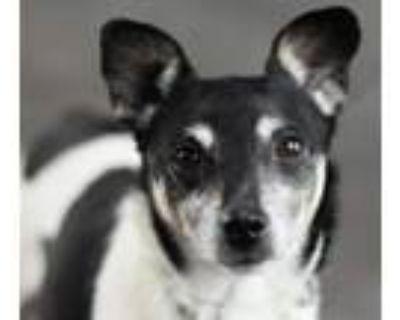 Adopt Gus a Rat Terrier
