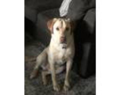 Adopt Buck a Tan/Yellow/Fawn Labrador Retriever / Mixed dog in Westminster
