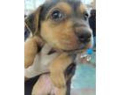 Adopt MAUDE a Labrador Retriever, Pit Bull Terrier