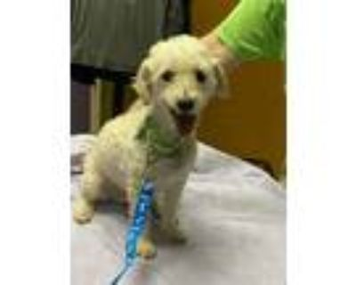 Adopt Robin a Poodle