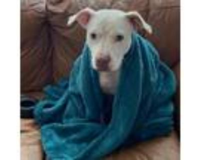 Adopt Mama **Courtesy Cupid** a Pit Bull Terrier