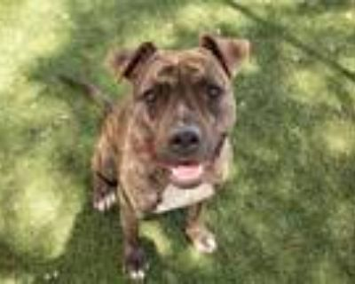 Adopt NICO a Brindle - with White American Pit Bull Terrier / Mixed dog in