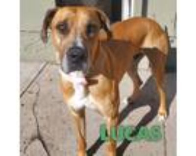 Adopt Lucas a Red/Golden/Orange/Chestnut Great Dane / Mixed dog in Mead