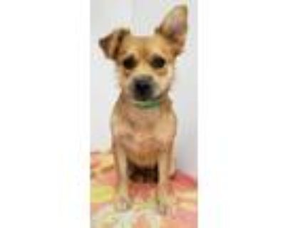 Adopt Kit a Terrier, Mixed Breed