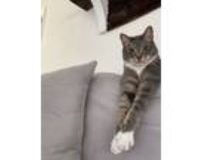 Adopt Jhin a Gray, Blue or Silver Tabby American Shorthair / Mixed (short coat)