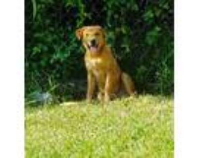 Adopt Wero a Brown/Chocolate Chow Chow / Mixed dog in Houston, TX (31653117)