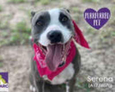 Adopt FAUNA a Gray/Silver/Salt & Pepper - with White American Pit Bull Terrier /