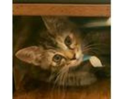 Adopt Joey a Brown or Chocolate Domestic Shorthair / Mixed cat in Chesapeake