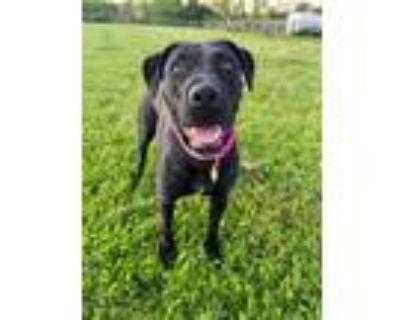 Adopt Kimmie a Labrador Retriever / Mixed dog in Germantown, OH (32386248)