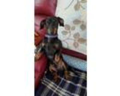 Adopt Bandit a Black - with Tan, Yellow or Fawn Dachshund / Mixed dog in
